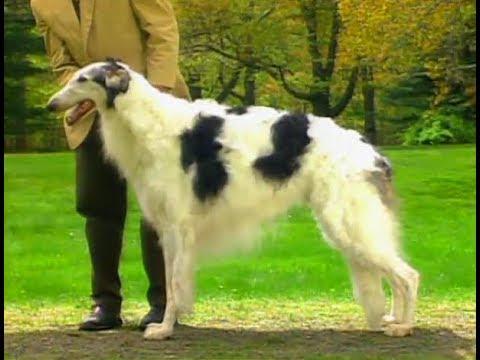 Borzoi - Galgo Ruso -  - AKC Dog breed series