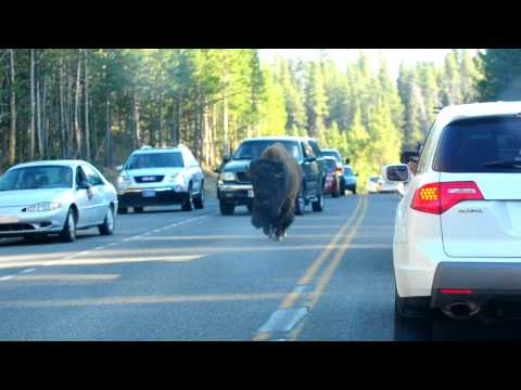 Yellowstone: bison on the road