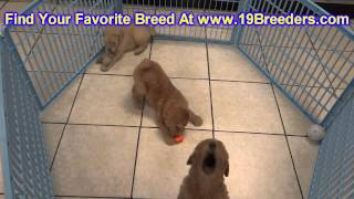 Golden Doodle, Puppies, For, Sale, In, Lansing, Michigan, Mi, Oakland, Macomb, Kent, Genesee, Washte