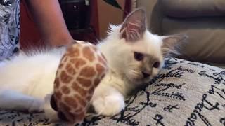 Ragdoll - Как помыть глазки котятам - рэгдоллам