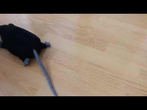 black rats family