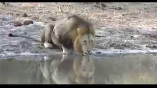 Djuma Safari in Zuid Afrika Deel 5 Matimba de brullende leeuw
