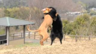 ホ坊、シャロリーと犬相撲。