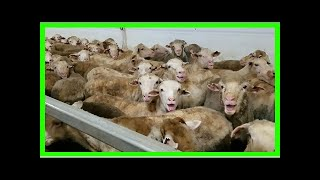 Australie : un cargo transportant 50 000 moutons vivants immobilisé après une vidéo alarmante