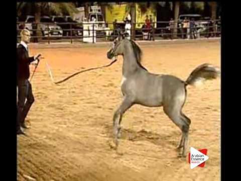 Ajman Arabian Horses Auction - 18A