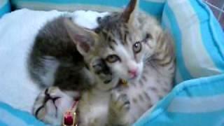 半寝で一方的に威嚇する子猫1 ~ぴっち♀VSぽっけ♂~