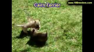 Cairn Terrier, Puppies, For, Sale, In, Duluth, Minnesota, County, Mn, Hennepin, Dakota, Washington,