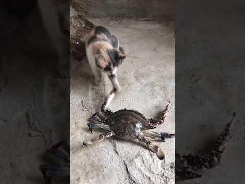 Story lucu kucing vs kepiting laut
