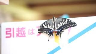 八百津So no ie 軒先で見つけたアゲハ蝶の初飛行.