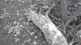 Ловля волков петлями.Catching wolves loops.