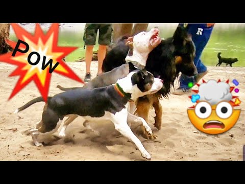 2 Pitbulls Attack My Shepherd at the Dog Park - How Does He React?