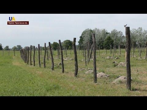 Виноградники в Черниговской области | Успешное село
