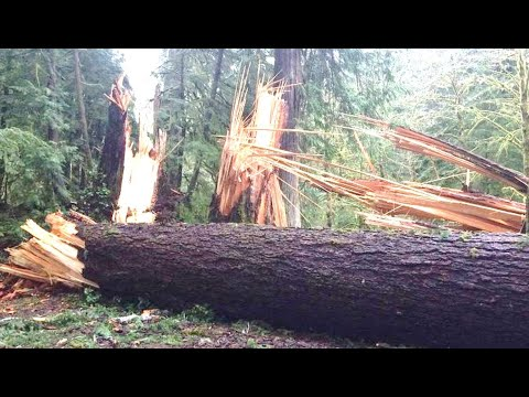 Back In 2018 Something Massive Knocked Over 100 Giant Trees In Olympic National Park