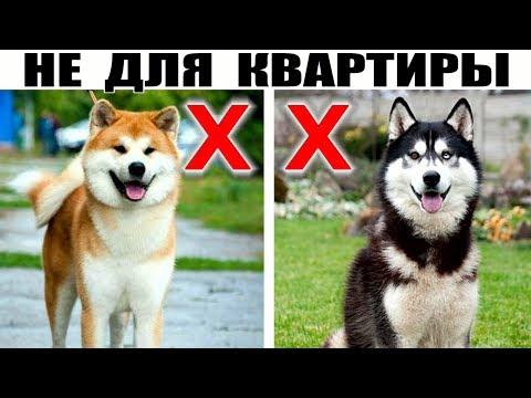 5 Крупных пород собак которые не подходят для содержания в квартире