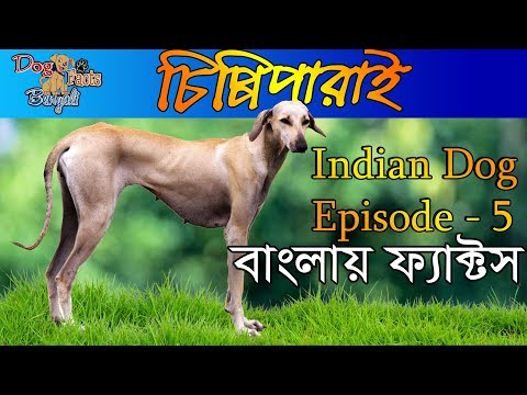 Chippiparai Facts  in Bengali | The Indian Dog Breed In Bengali |  Indian Dog Facts in Bengali