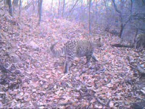 Very rare images of North Chinese leopard in wild, Shanxi