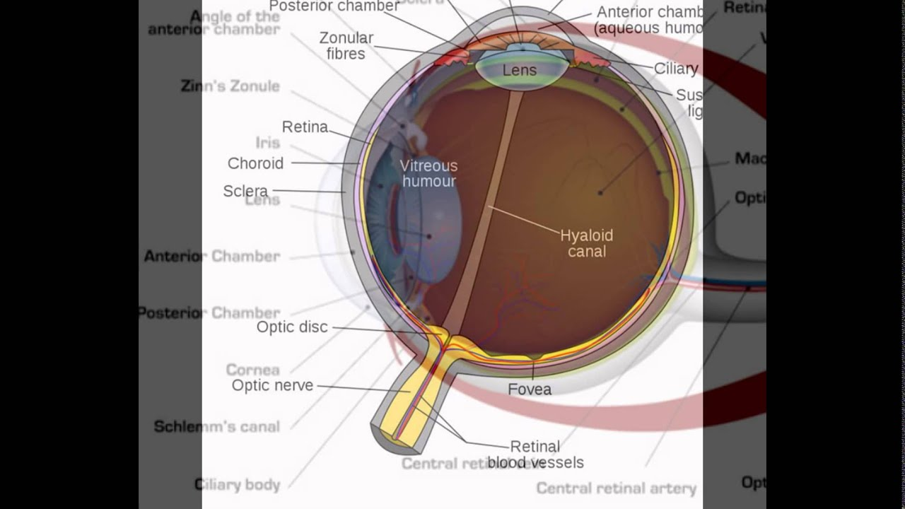 Labeled diagram of human eye youtube labeled diagram of human eye pooptronica
