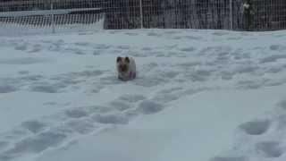 雪遊びが大好きなレオン。 大雪の時は小柄なので進めないが、 この程度...
