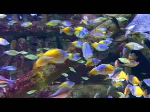 Largest Boesemani Rainbowfish Aquarium Huge! Red, Turquoise Rainbows!