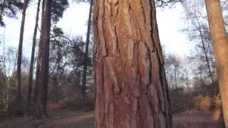 Old Pine trees  -  Gamall  furuskógur -  Skógartré - Furutré