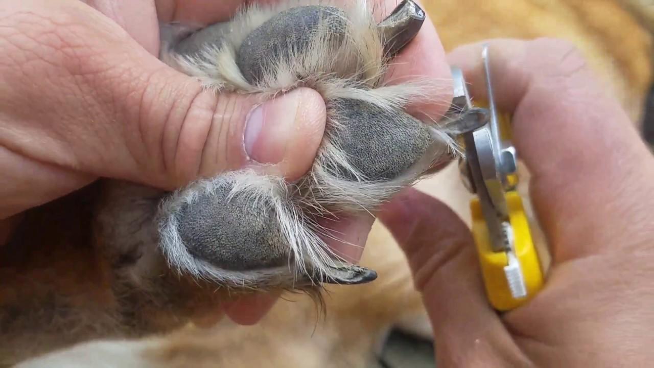 german shepherd toenail clippers   nail ftempo