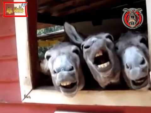Lachende Esel