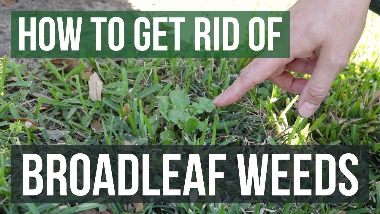 How To Get Rid Of Broadleaf Weeds Lawn Care Tips