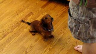 Eli The Wonder Dachshund Puppy