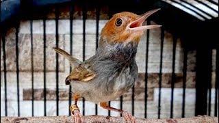 [1.36 MB] Luar Biasa Suara Burung Prenjak Kepala Merah