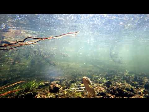 Underwater View of Yellowstone Cutthroat Trout in Gibbon River