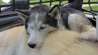 Siberian Husky all tired out! - Wordless Wednesday - Wore Out from Camping - Sleeping Huskies