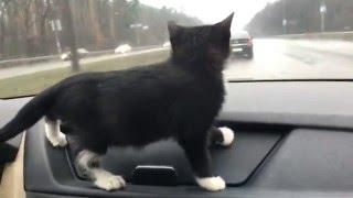 Любопытный котенок в машине