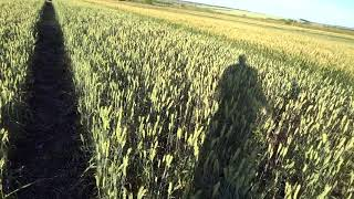 Озимая пшеница, норма высева 50 кг./га (1 млн.шт. семян/га)