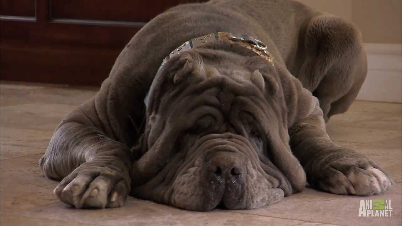 Neo Mastiff Puppies Play Hide and Seek from Dad