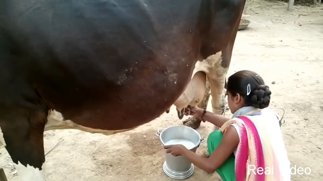 Indian Cow (Cattle) Animal About and Latest HD Photos