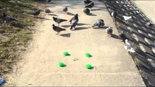 初めにいろんな鳥に餌を与えておびき寄せました。次に餌の周りにsairen...