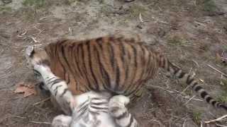 Playing tigercubs2