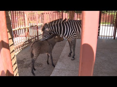 В Липецком зоопарке родился зеброид