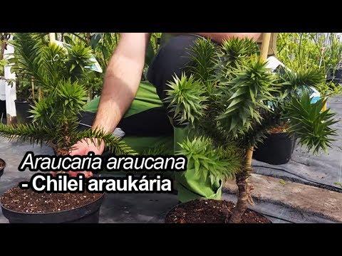 Chilei araukária - Araucaria araucana