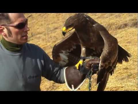 Aquila nipalensis in volo hd.mp4