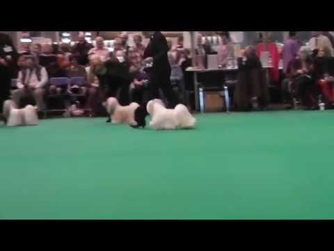 Crufts 2013 Lhasa Apso Limit Dog