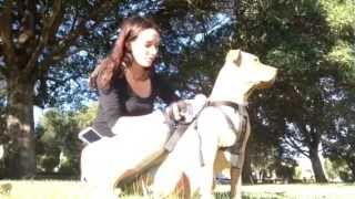 Pitbull Dog Training- Easy Way To Teach Your Dog To Sit And Lie Down!