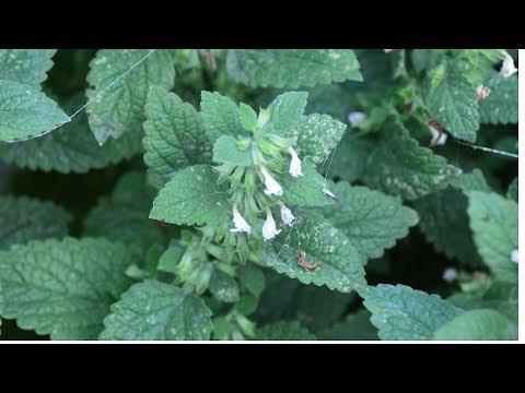 Мелисса или котовник? Как отличить эти пряные и лекарственные растения?