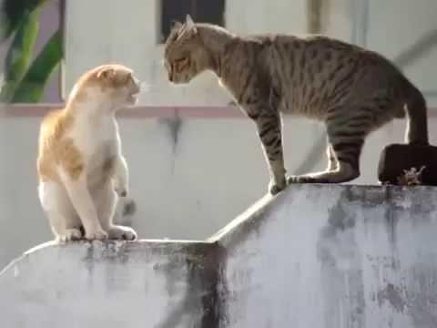 Два кота орут друг на друга!