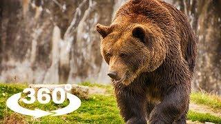 NIEDŹWIEDŹ BRUNATNY (BROWN BEAR) - ZOO CHORZÓW 360° (VR)