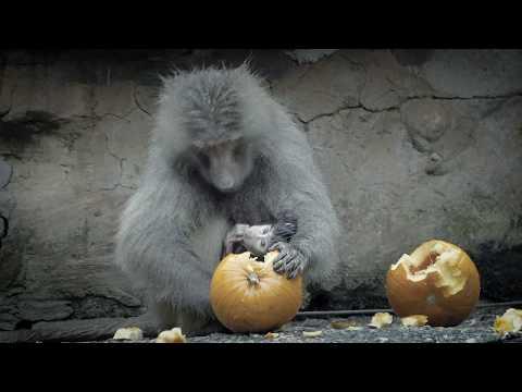 Pumpkin Loving Primates