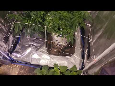 Growmau5 and chilled tech tent set up - Soillife420