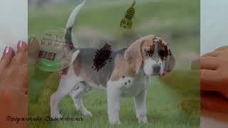 Бигль из бисера/Beagle of bead