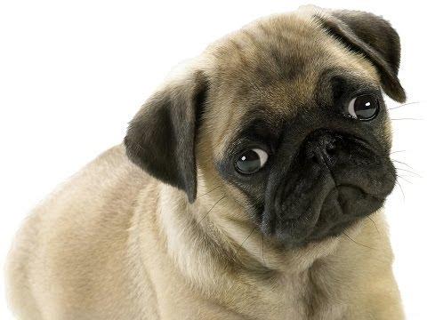 О породе собак - Мопс
