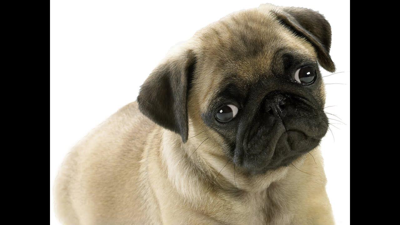 Урок №1 Начальное обучение щенка. Первые шаги - YouTube
